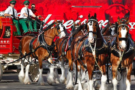 World-Famous Budweiser Clydesdales to Visit Dallas